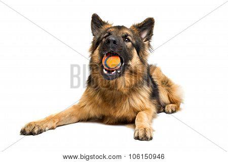 German Shepherd Chewing An Orange Ball