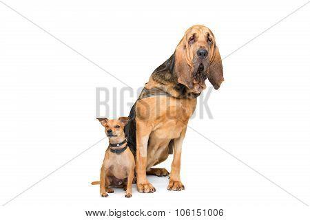 Miniature Pinscher And A Bloodhound