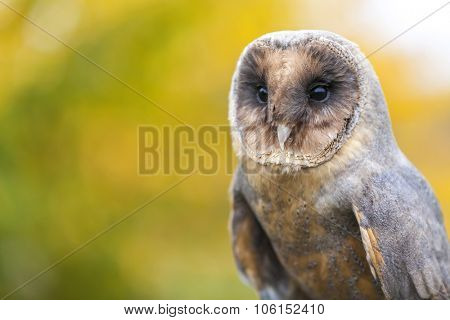 A rare Melanistic or Black Barn Owl in an Autumnal Fall forest