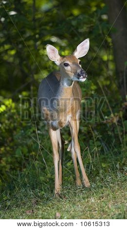 Forest Doe