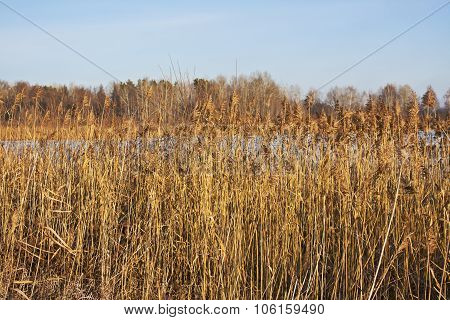 Dry Reed In The Winter