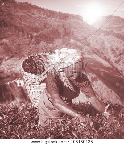 Women Tea Pickers Sri Lanka Harvesting Agricultural Concept