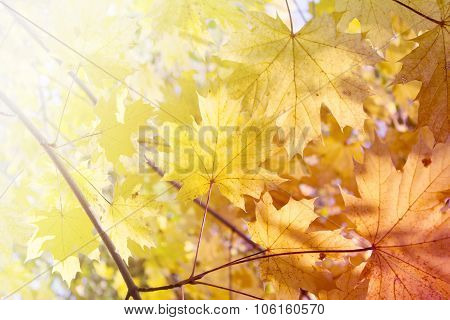 Autumn Background - Yellow Leaves