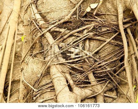 Banyan Tree Roots, Perennial Trees