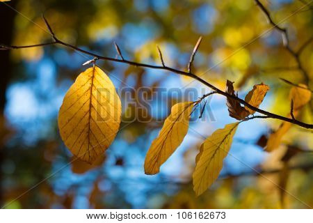Yellow autum leaves hanging over blue sky