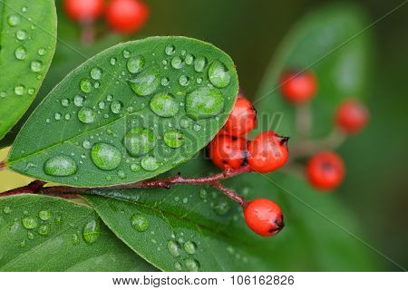 Cotoneaster berries and leaves with raindrops in autumn.