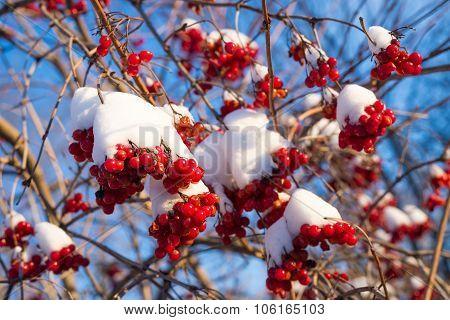 Viburnum berries in snow on  sunny day