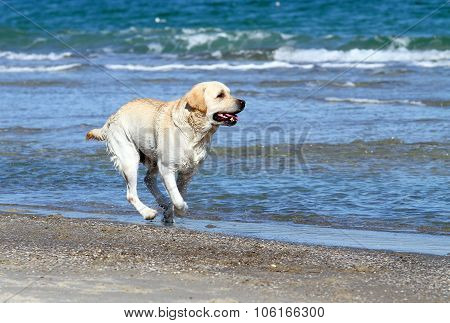 A Nice Yellow Labrador Running In The Sea
