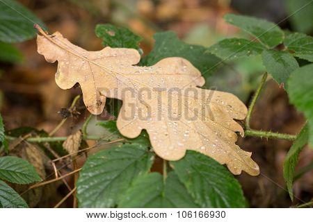 Oak Leaf In Rain Drops.