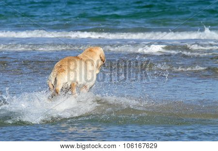 A Young Nice Yellow Labrador Swimming In The Sea