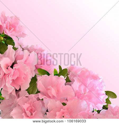 Pink Azalea Flowers In Bloom