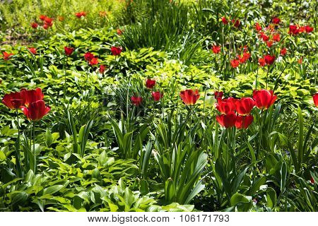 Red Tulips Blooming In The Field