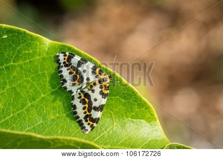 Abraxas Grossulariata Butterfly Sitting On A Leaf