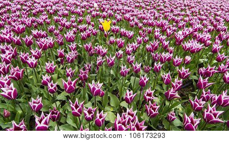 Purple tulips yellow Tulip