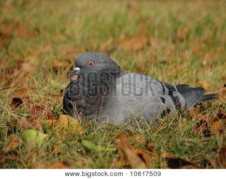 Dove sits on autumn grass