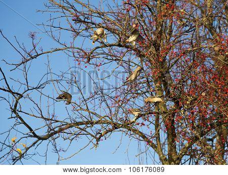 Waxwings Eating Berries