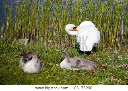 Swan On A Background Of Grass And Water