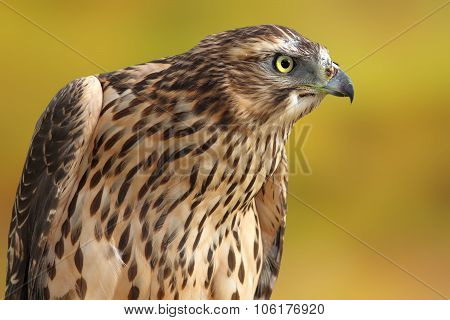 Accipiter Nisus Over Out Of Focus Background