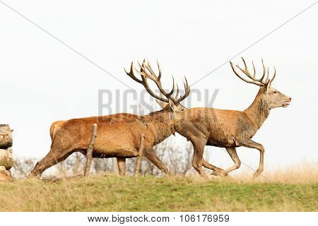 Beautiful Red Deer Bucks Running