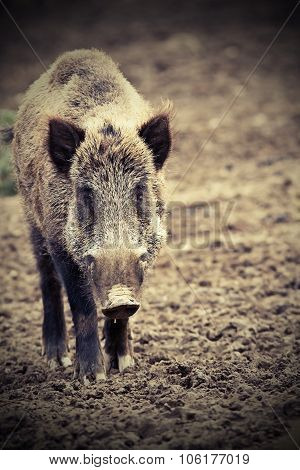 Big Wild Boar Looking At Camera