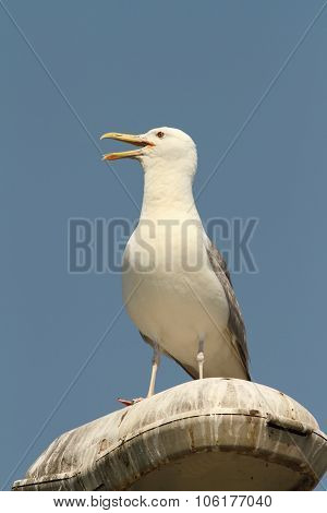 Caspian Gull On Electric Pile
