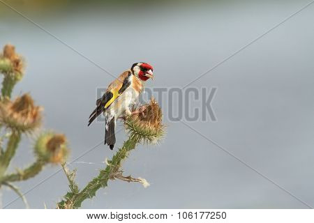 European Goldfinch Eating Seeds