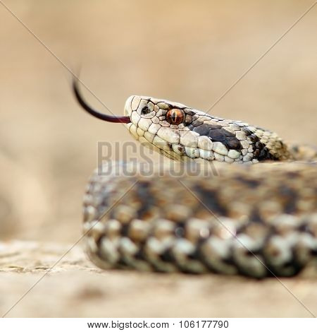 Macro Image Of A Meadow Viper