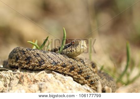 Male Vipera Ursinii Rakosiensis