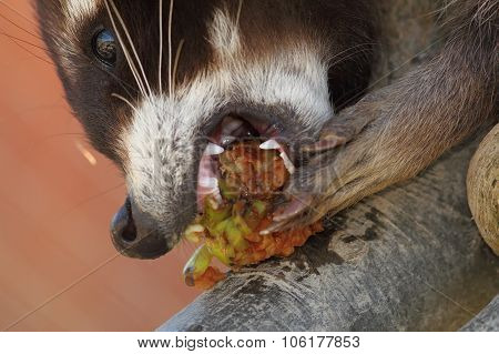 Raccoon Eating Apple