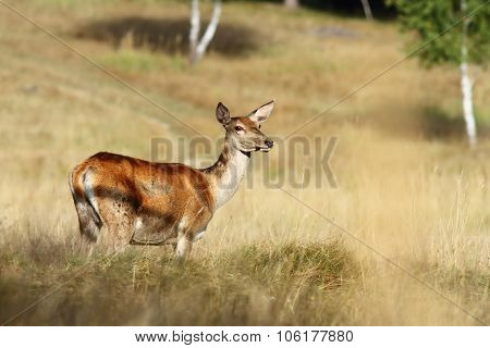 Red Deer Doe Standing In A Clearing