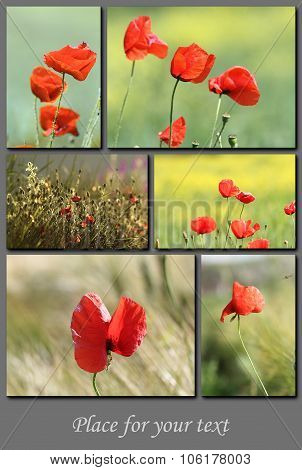 Spring Postcard With Red Wild Poppies