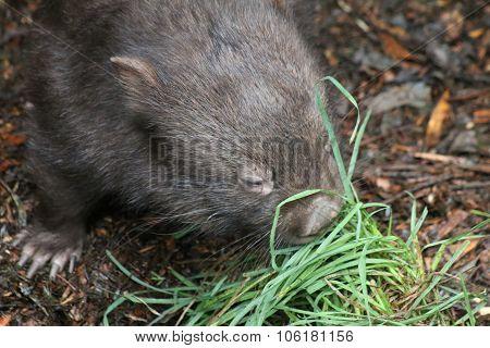 Wombat Feeding