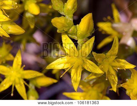 Goldmoss stonecrop or mossy stonecrop flower