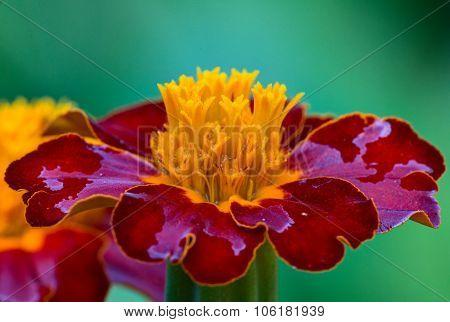 French marigold (lat. Tagetes Patula Bonanza)