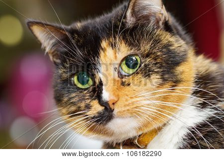 Three Colored Cat