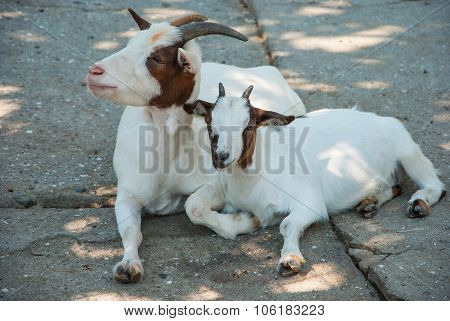 Goat and kid