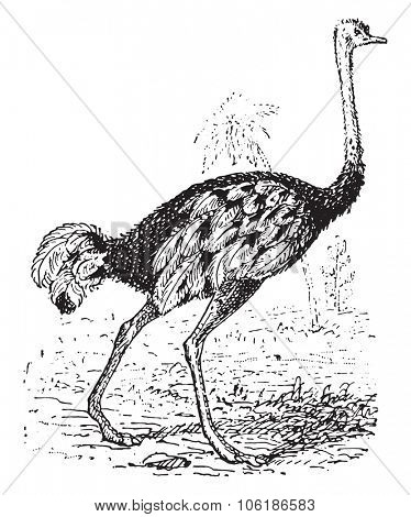 Ostrich, vintage engraved illustration. Dictionary of words and things - Larive and Fleury - 1895.