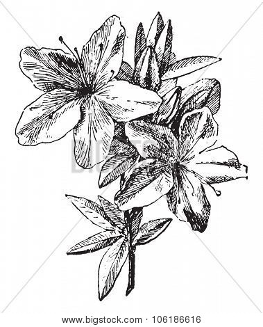 Azalea, vintage engraved illustration. Dictionary of words and things - Larive and Fleury - 1895.