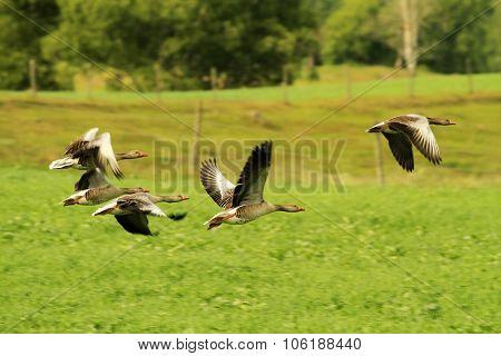 Flock of greylag geese