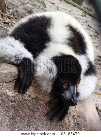 Black-and-white ruffed lemur, Varecia variegatus
