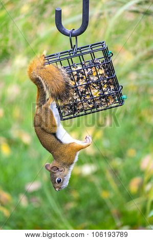 Red Squirrel Stealing Bird Seeds