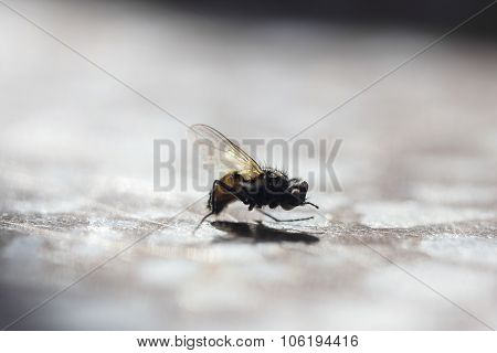 Housefly Close Up In Sunlight
