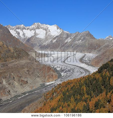 Curved Aletsch Glacier And Golden Larch Forest