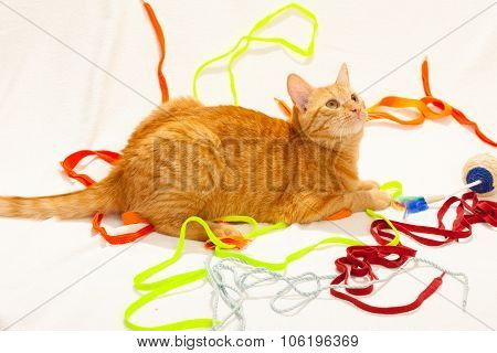 Orange cat wit colorful shoelaces