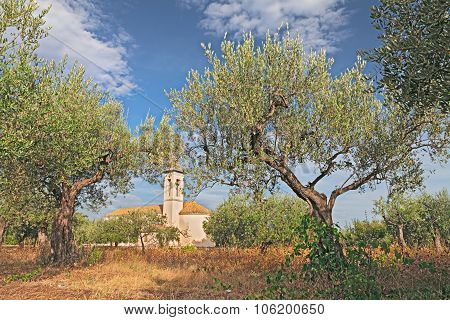 Olive Tree Orchard In Abruzzo, Italy