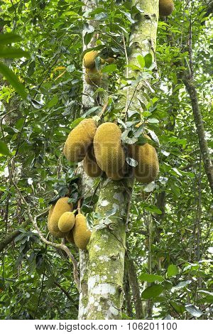 Wild Jackfruit In Tree