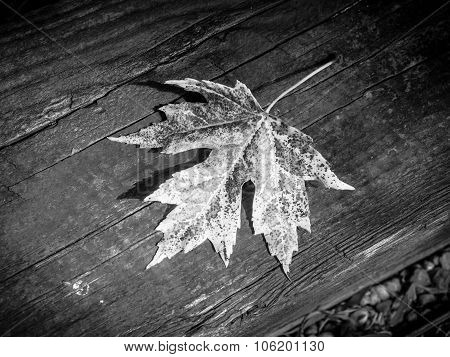 Single Maple Leaf in Black and White