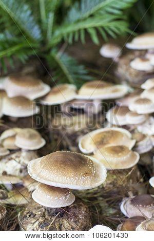 Shiitake Mushrooms In Farm