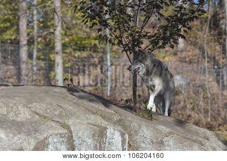 A lone Timber wolf in the woods