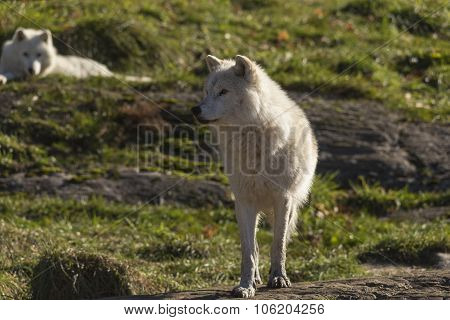 A lone Arctic Wolf in the fall season